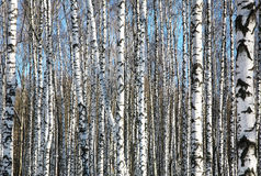 Birches on blue sky Stock Image