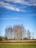 Birches with cloudscape Stock Image