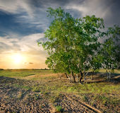 Birches in the desert Royalty Free Stock Image