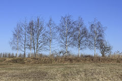 Birches in early spring Royalty Free Stock Images