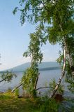 Birches on the edge of the shore of a large lake. royalty free stock image