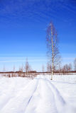 Birches on field Royalty Free Stock Photos