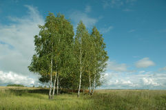 Birches in a field. Birch trees stand in a field like an islet in a sea. Early autumn. Russia Stock Photo