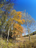 Birches in the field against the blue sky in the sunny autumn day Stock Photography