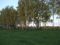 Birches on the field in the summertime. royalty free stock photo