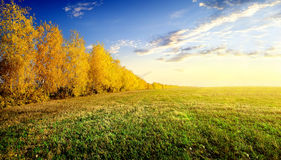 Birches on field Royalty Free Stock Images