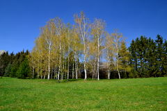 Birches in forest stock photos