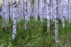 Birches. In the forest stands the birches on the row Stock Photos