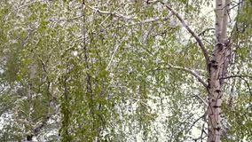 Birches with green leaves under a snowfall. stock video