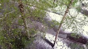 Birches with green leaves under a snowfall. stock video footage