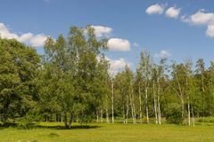 Birches on a green meadow. Green environment and blue sky on summer day. royalty free stock image