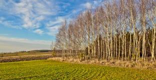 Birches grove Stock Image