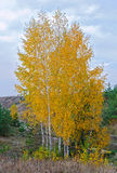 Birches grow in the field Stock Photo
