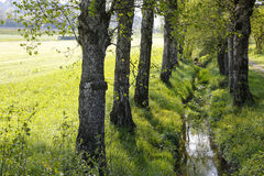 Birches grows along a narrow stream. Birches grow along a narrow stream flowing among the grass and it this is somewhere in Switzerland Royalty Free Stock Photo