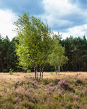 Birches in the heathland Royalty Free Stock Photography