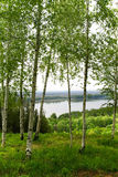 Birches on high coast stock photography