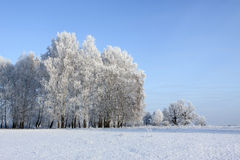 Birches and hoarfrost Royalty Free Stock Photography