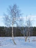 Birches with hoarfrost at forest edge Stock Photography