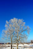 Birches in hoarfrost frost. Against a bright blue sky Stock Photo