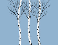 Birches. Stock Photography