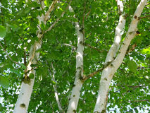 Birches Royalty Free Stock Photos