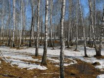 Birches In The Spring Stock Photos