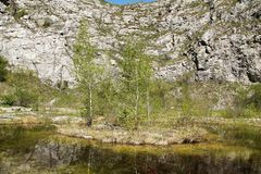 Birches on the island Stock Photography