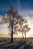 Birches in January Stock Photography