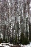 Birches and a juniper. Stock Photos