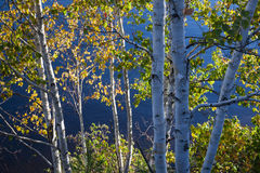 Birches on lake shore Royalty Free Stock Photography