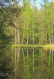 Birches at the lake. Birches and some other trees growing on the bank of a lake and reflecting on the water surface i spring, Kamenec, Czech Republic stock images