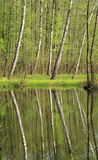 Birches at the lake. Birches and some other trees growing on the bank of a lake and reflecting on the water surface i spring, Kamenec, Czech Republic royalty free stock photography