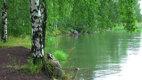Birches by the lake stock video footage