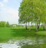 Birches on the lakeside. Oil painting made from a photograph Royalty Free Stock Photo