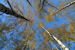 Birches leaves over blue sky Royalty Free Stock Image