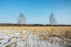 Birches without leaves, snow on a wild meadow and clear sky. Birches without leaves, snow on a wild meadow and clear blue sky stock photos