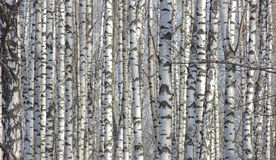 The birches lit with sunshine look as print fabric with original drawing in the Russian style. Royalty Free Stock Photography