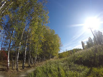 Birches near a footpath and the field on the other hand in the summer sunny day Stock Photo