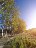 Birches near a footpath and the field on the other hand in the summer sunny day Stock Photography