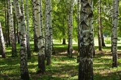 Birches in park Stock Photos