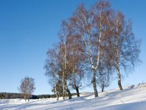 Birches in ravine on sunny winter day Royalty Free Stock Images