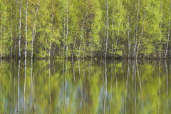 Birches reflected in water. Spring blossoming birch trees reflected in water Stock Images