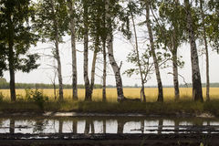 Birches and reflection Stock Photos