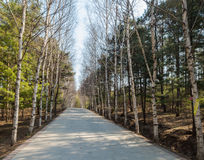 Birches in the road Stock Photo