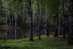 Birches Royalty Free Stock Photography