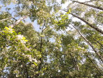 Birches, Russian white trees and blossoming of fruit tree. Royalty Free Stock Photography