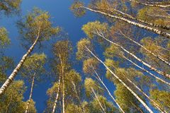 Birches on sky Stock Photo