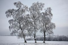 Birches after a snowfall. Stock Images