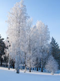 Birches stand covered with hoarfrost. Royalty Free Stock Photos