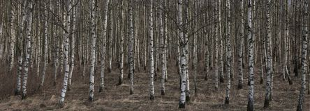 Birches standing in irregular rows stock photography